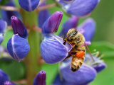 Bee Visiting a Lupine Flower in the Springtime  Arlington  Massachusetts  USA