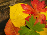 Close-Up of Autumn Leaves  Santa Fe  New Mexico  USA