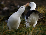 Pair of Black-Browed Albatrosses Courting  West Point Island  Falkland Islands