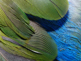 Detailed View of the Texture of the Feathers of a Red-Winged Parrot