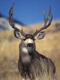 Mule Deer Buck  Yellowstone National Park  Montana