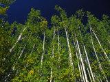 Forest of Poplar Trees  Yukon Territories  Canada