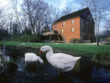 Geese Wading in Front of Colvin Run Mill  Colvin Run Mill  Great Falls  Virginia