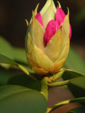 Rhododendron Buds About to Bloom  Belmont  Massachusetts