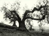 Large Olive Tree in the Tuscan Hills