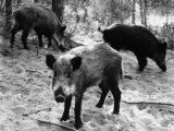 Wild Boar in Bolgheri