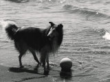 Collie on the Beach