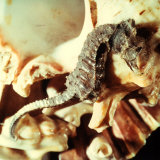 Close-up of a Seahorse Leaning on a Shell