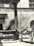 Donkeys in the Erba Piazza in Orvieto