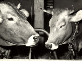 Close-up of Two Cows at a Farm