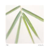Bamboo Study 8