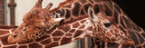 Two New Giraffe Calves Make Their First Apperance at London Zoo  October 1997