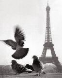 Eiffel Tower with Pigeons  Paris