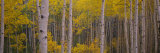 Aspen Trees in a Forest  Telluride  San Miguel County  Colorado  USA