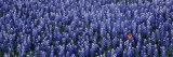 Bluebonnet Flowers in a Field  Hill County  Texas  USA