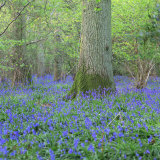 Bluebells in a Wood in England  United Kingdom  Europe