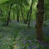 Bluebells in an Ancient Wood in Spring Time in the Essex Countryside  England  United Kingdom