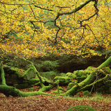 Beech Trees and Fall Foliage  with Lichen on Fallen Branches