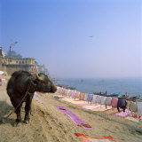 Water Buffalo and Drying Washing on the Banks of the Ganges  Varanasi  Uttar Pradesh State  India