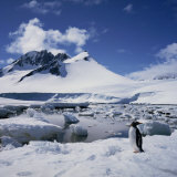 Single Gentoo Penguin on Ice in a Snowy Landscape  on the Antarctic Peninsula  Antarctica