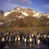 King Penguins  South Georgia  South Atlantic  Polar Regions