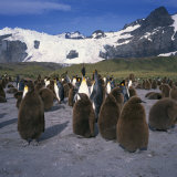 King Penguins and Chicks  Glacier and Mountains in the Background  South Georgia  Polar Regions