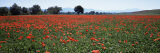 Field of Poppies in Spring  Near San Quirico D'Orcia  Tuscany  Italy  Europe