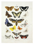 Chart Illustrating Butterflies and Moths  England  19th Century