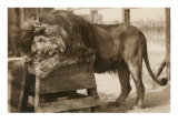 Circus Lion