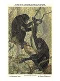 Bonobo Pygmy Chimpanzee