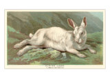 Alpine Hare