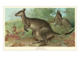 Big Gray Kangaroos