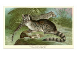 Blotched Genet
