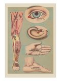Miscellaneous Anatomical Drawings
