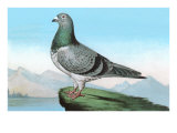 Proud Pigeon