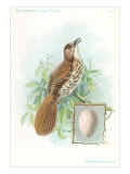 Brown Thrasher  Songbird