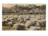 Desert Verbena
