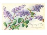 Lilacs  Topanga  California