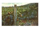Vineyard  San Luis Obispo County