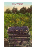 Harvest  Flats of Grapes