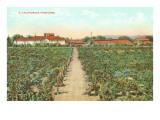 A California Vineyard