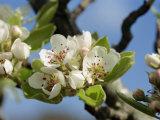 Wild Pear Tree Blossom
