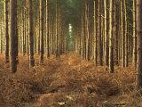 Pine Trees in Rows in Morning Light  Norfolk Wood  Norfolk  England  United Kingdom  Europe