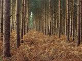 Pine Trees in Rows  Norfolk Wood  Norfolk  England  United Kingdom  Europe