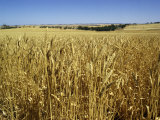 Vast Fields of Ripening Wheat  Near Northam  West Australia  Australia  Pacific