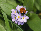 Seven Spot Ladybird on Forget-Me-Nots
