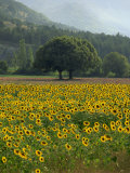 Landscape of Field of Sunflowers Near Ferrassieres in the Drome  Rhone-Alpes  France  Europe