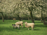 Sheep and Lambs Beneath Apple Trees in a Cider Orchard in Herefordshire  England