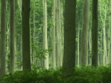 Tall Straight Trunks on Trees in Woodland in the Forest of Lyons  in Eure  Haute Normandie  France