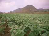 Tobacco Plantation  Cuba  West Indies  Central America